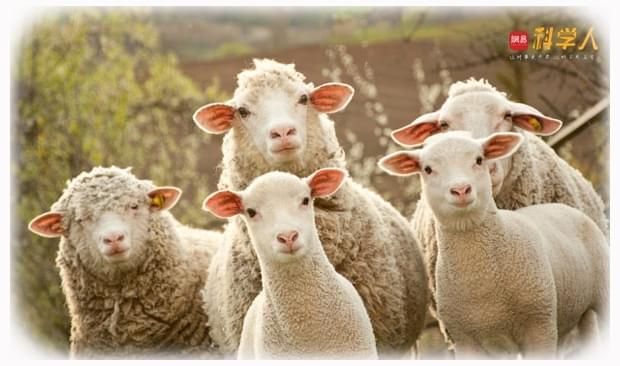 全世界约有14亿只绵羊 它们其实并不愚蠢和软弱
