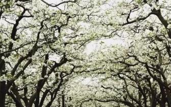 重庆周边有千亩梨花等着你去欣赏