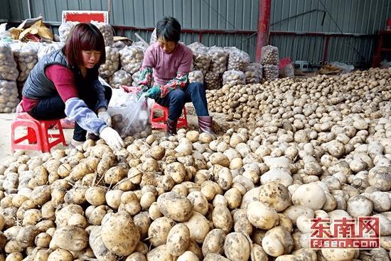 龙海海澄:万亩马铃薯喜丰收 每公斤市场价1.8元