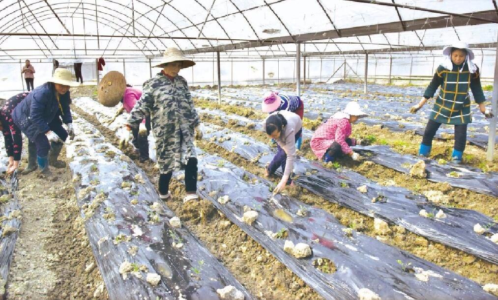荆州区双垱村一片繁忙景象 村民们补栽西红柿苗