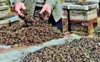 五箱蜜蜂被毒死 嫌犯原来是亲家