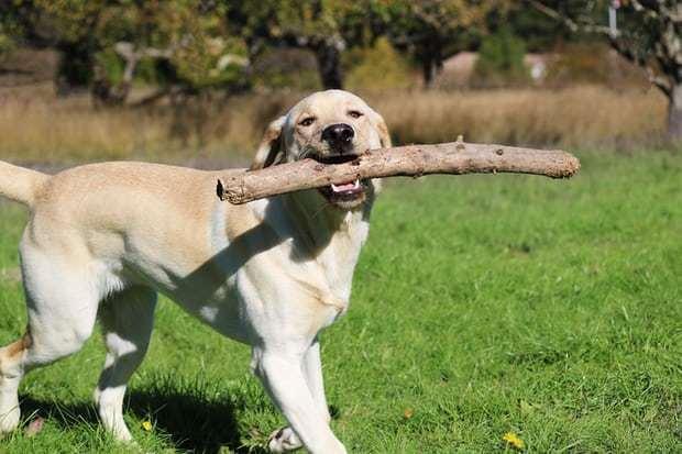 狗狗为何总是疯狂追尾巴打圈?也许是病,得治