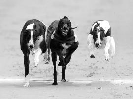 电动兔成赛场猎物 英国赛狗玩的不只是心跳
