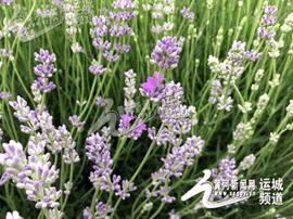 山西永济:薰衣草种植基地母亲节迎客