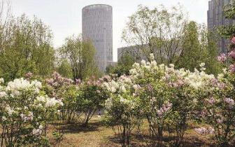 哈市4月中旬气温高雨水足 今年花开早或历年