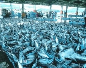 日本在本州水域的四成鱼类中发现塑料颗粒