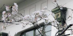 武汉大学赏樱预约开启 浪漫樱花雨美哭