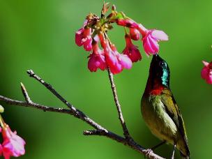福州国家森林公园樱花丛中鸟纷飞