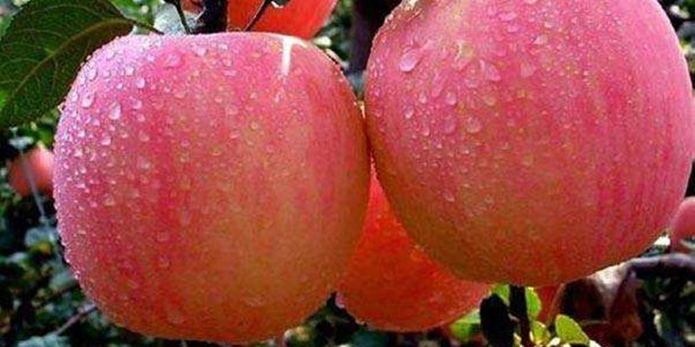 新闻午报-山西:运城苹果谁家好 比比见分晓