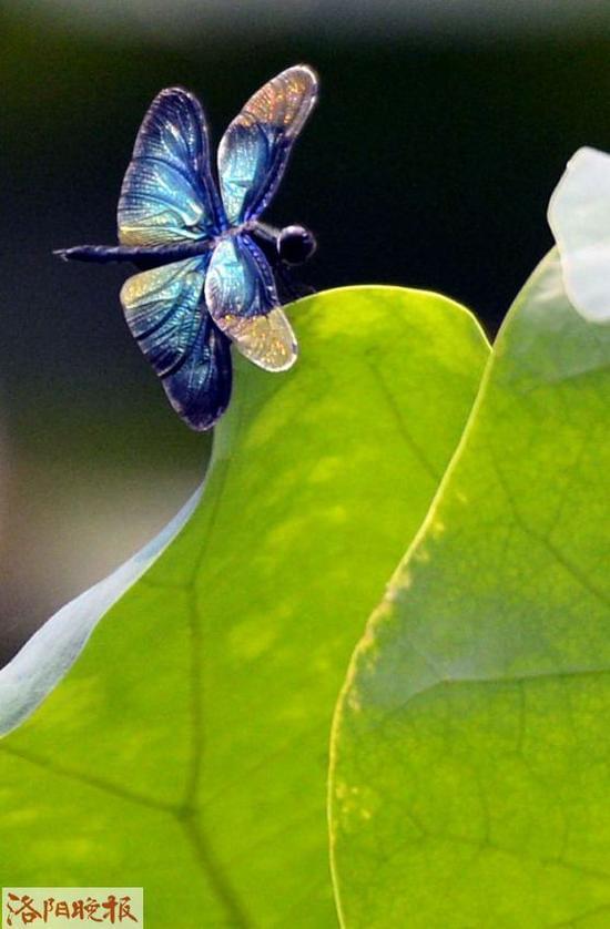 好看的青蛙和荷叶-翅膀颜色漂亮吧-小荷才露尖尖角 早有蜻蜓立上头