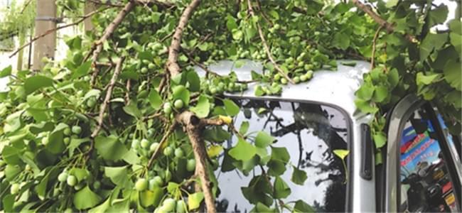 百岁银杏挂果较多 大腿粗树枝折断砸在车顶