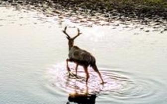 """长江自然生态廊道:相守,江豚麋鹿的湿地""""告白"""""""