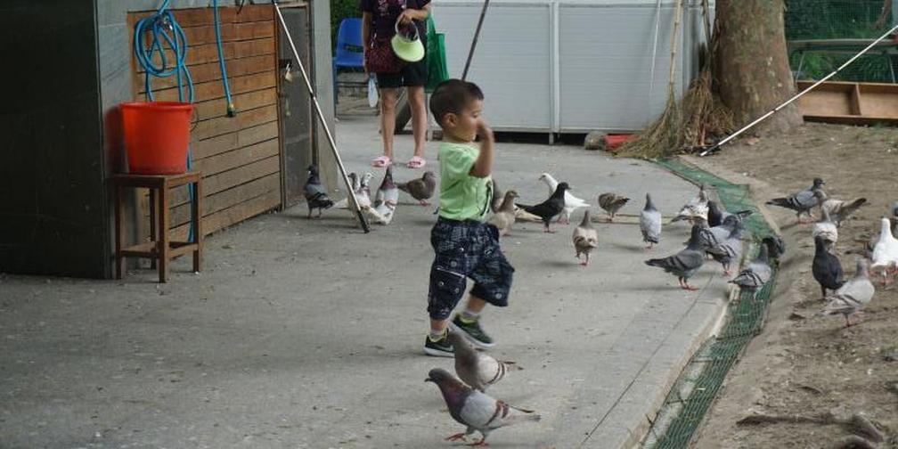 公园鸽子小朋友喂完就可杀来吃?