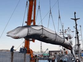 为什么日本人无法放弃鲸肉?