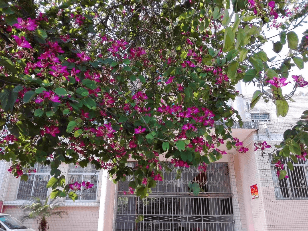 清新这几所校园开了一大片紫色花海,哪个学校更美