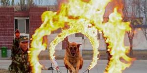 柬埔寨银河国际网站武警警犬训练看警犬如何练成