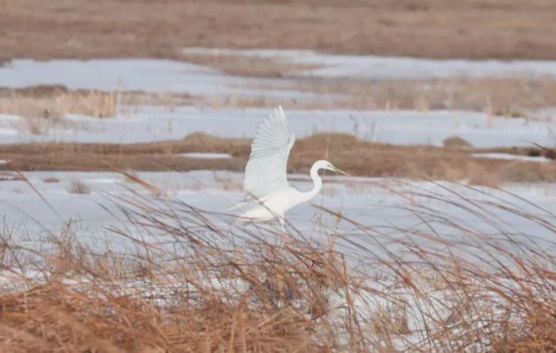 哈巴河:白鹭为邻 自在栖居!