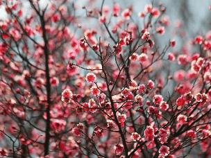 春日寻梅何处去 十梅庵梅花节3月16日开幕