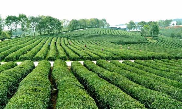 """撒花!""""石首绿茶""""成功注册地理标志证明商标"""
