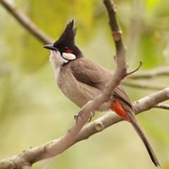 红耳鹎 胡山林摄
