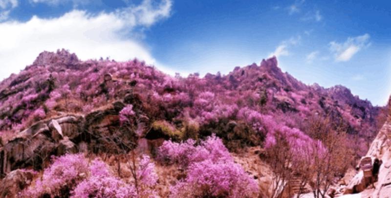 黄岛杜鹃花会明天开始预热 下月起推八大主题活动