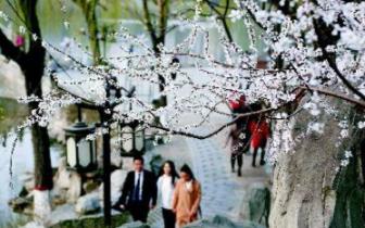 文瀛公园山桃初盛 市民结伴观赏花景