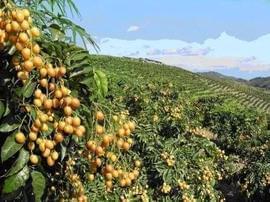 花都人常吃的黄皮果竟然有这么多好处!