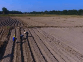 全市已建1700亩冬种马铃薯示范基地