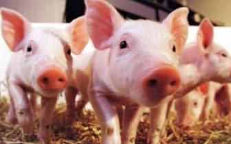 山东生猪价格连续八周持续走低