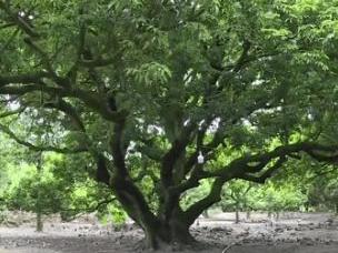 可惜!阳江有一棵近千年荔枝树王没人打理