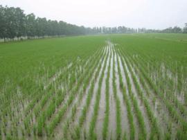 芮城农委技术人员深入优质谷子生产基地科学指导