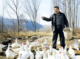 陕州区王家后乡 枣林里养殖非洲雁