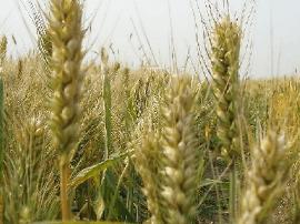 民权耄耋老人成功研制补硒小麦 比药补便宜20倍