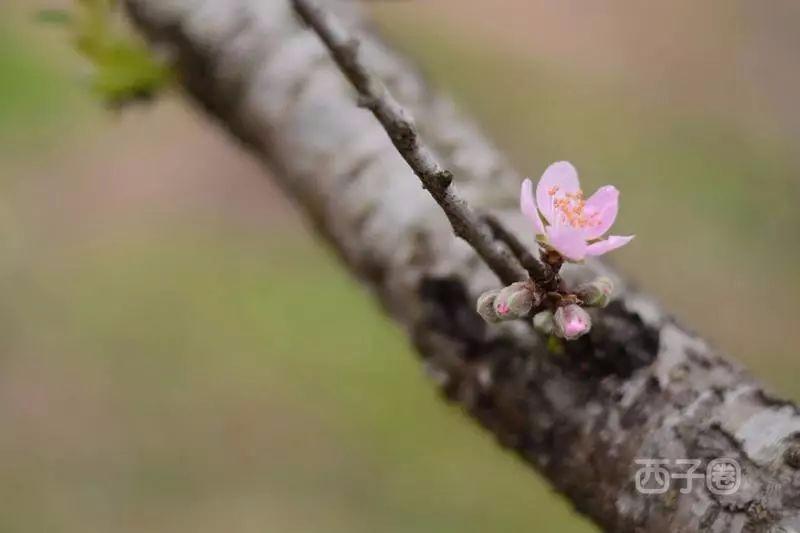 红花湖的桃花开了!惠州人快去沾沾桃花运吧