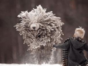俄罗斯可蒙犬与男孩雪地嬉戏 神似拖把