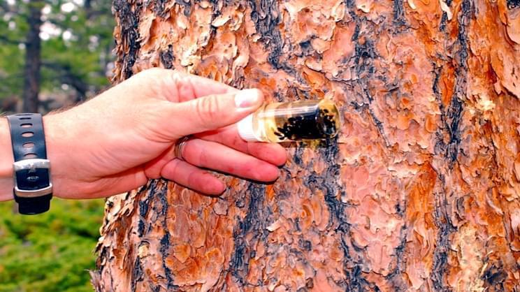 害虫疯狂蔓延 搞死北美松树林?都是变暖惹的祸