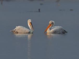 数十只卷羽鹈鹕飞抵福建罗源湾越冬