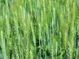 朱鹏在运城市蓝红杂交小麦研究中心调研