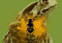 投弹手甲虫不怕蟾蜍吞下 他能想办法让蟾蜍吐出
