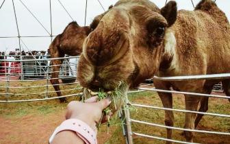 """骆驼选美大赛:骆驼为夺冠也""""整容"""""""