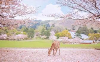 赏樱只有1周多花期?我们教你玩足一整个月
