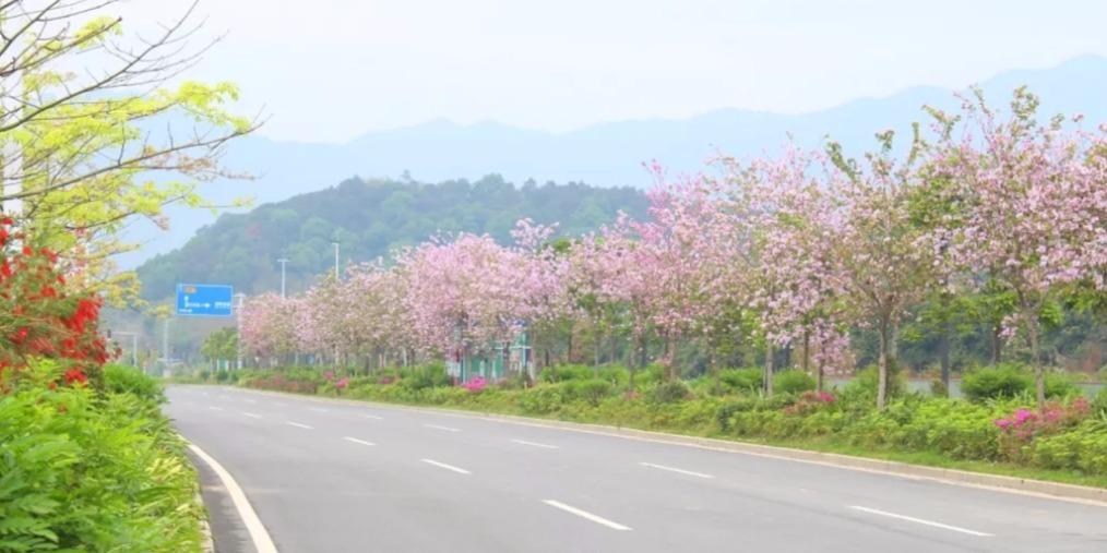 """延绵三公里的紫荆花大道 被誉为""""清远最浪漫公路"""""""