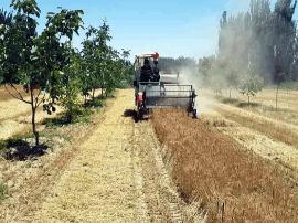 新疆南疆迎来夏收 小麦开镰收割