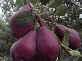 灵宝市故县镇盘西村种植红星梨效益可观