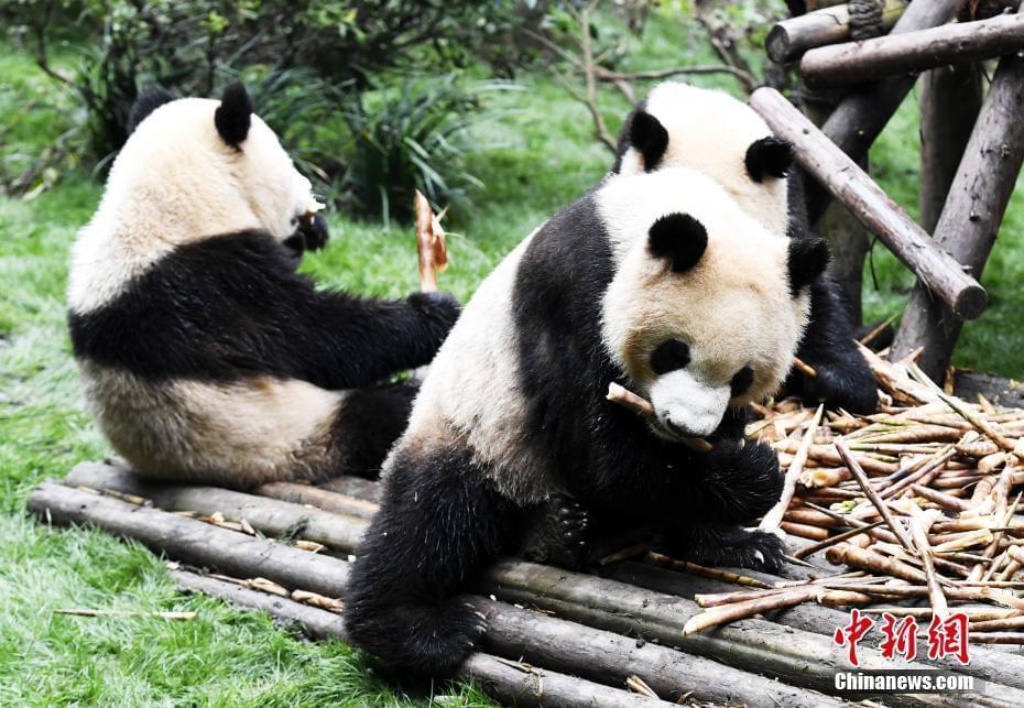 成都大熊猫滚滚秋日卖萌