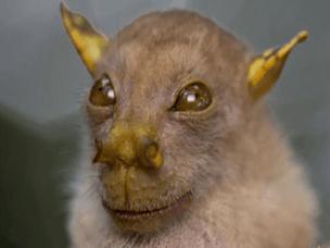 奇异新物种:尤达蝙蝠疑似外星人