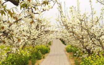 重庆巴南天坪山万亩梨花等你来袭香