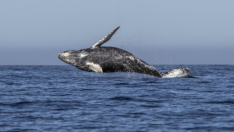 海洋摆脱束缚放肆生长?鲸鱼体型为何如此庞大?