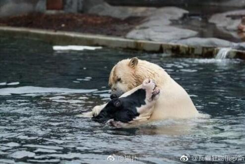网友无意间拍到动物园水池里熊跟牛一起洗澡的一幕,好有爱啊!
