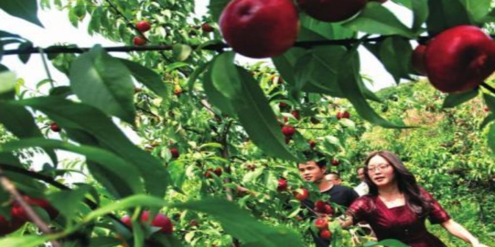 周末油桃采摘地 上百亩油桃压满枝头!